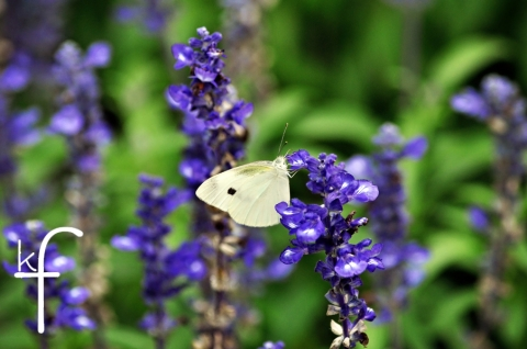 butterfly_with_lupine.jpg